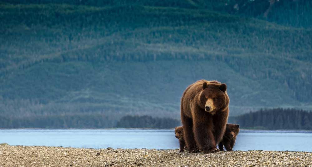 Bär in Juneau Alaska